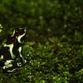 Green Poison Dart Frog by Douglas Barnett