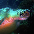 Green Sea Turtle 1 by Pauline Walsh Jacobson