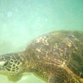 Green Sea Turtle 2 by Mark Cheney