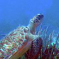 Green Sea Turtle 3 by Pauline Walsh Jacobson