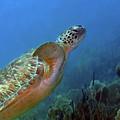 Green Sea Turtle 4 by Pauline Walsh Jacobson
