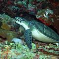 Green Sea Turtle 5 by Pauline Walsh Jacobson