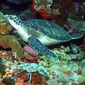 Green Sea Turtle 6 by Pauline Walsh Jacobson