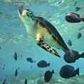 Green Sea Turtle Balicasag Island by Tim Fitzharris