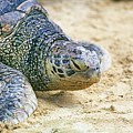 Green Sea Turtle by Buddy Mays