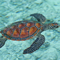 Green Sea Turtle by Mako photo
