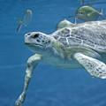 Green Sea Turtle by Michael Shake
