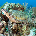 Green Sea Turtle On Caribbean Reef by Karen Doody