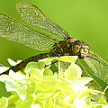 Green Spotted Dragonfly 2 by Mark Guilfoyle