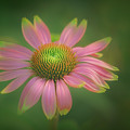 Green Tipped Coneflower by S A Littau