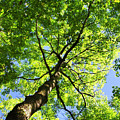 Summer Tree Canopy by Christina Rollo