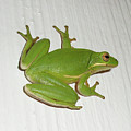 Green Tree Frog - Hyla Cinerea by Mother Nature
