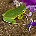 Green Tree Frog And Flowers by Douglas Barnett