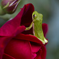 Green Tree Frog And Red Roses by Kathy Clark