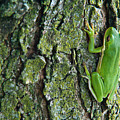 Green Tree Frog On Lichen Covered Bark by Douglas Barnett