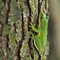 Green Tree Frog Thinking by Douglas Barnett
