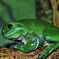 Green Tree Frog With A Smile by Kaye Menner