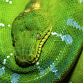 Green Tree Python by Javier Flores