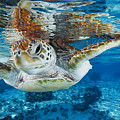 Green Turtle by Alexis Rosenfeld