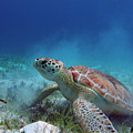 Green Turtle by Kimberly Mohlenhoff