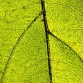 Green Veins by Lauri Novak