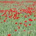 Green Wheat And Red Poppy Flowers Field by Goce Risteski