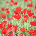 Green Wheat And Red Poppy Flowers by Goce Risteski