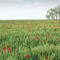 Green Wheat Field Spring Scene by Goce Risteski
