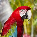 Green Winged Macaw Ara Chloropterus by Sharon Mau