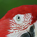 Green-winged Macaw Close Up by Judy Whitton