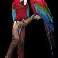 Green Winged Macaw Portrait by Emma England