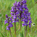 Green-winged Orchids by Bob Kemp