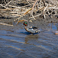 Green-winged Teal 7 by M Dale