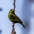 Greenfinch by Nigel Dudson