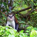 Grenada Monkey 2 by Arthur Dodd