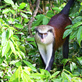 Grenada Monkey by Arthur Dodd