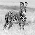 Grevy Zebra  5953bw by Karen Celella