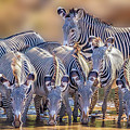 Grevy Zebra Party  7528 by Karen Celella