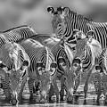Grevy Zebra Party  7528bw by Karen Celella