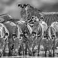 Grevy Zebra Party  7528bwc by Karen Celella