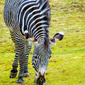 Grevys Zebra Left by LeeAnn McLaneGoetz McLaneGoetzStudioLLCcom