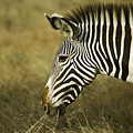 Grevy's Zebra by Michele Burgess