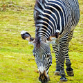 Grevys Zebra Right by LeeAnn McLaneGoetz McLaneGoetzStudioLLCcom