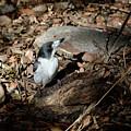 Grey Butcherbird by Nicholas Blackwell