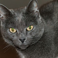 Grey Cat With Yellow Eyes by Ray Sheley