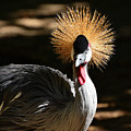 Grey Crowned Crane by Kathy Baccari