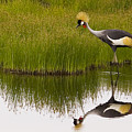 Grey Crowned Crane - Signed by J L Woody Wooden