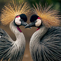 Grey Crowned Cranes Of Africa by Daniel Hagerman