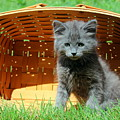 Grey Fluffy Kitten In Market Basket by Anita Hiltz