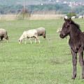 Grey Foal On Pasture Farm Scene by Goce Risteski